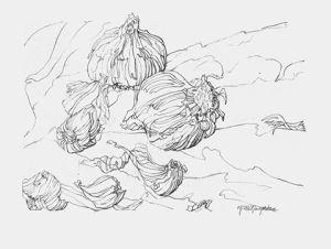 contour of garlic